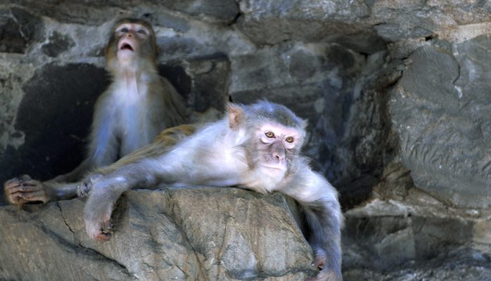 In the foreground, an engaged macaque. In the background, not so much...